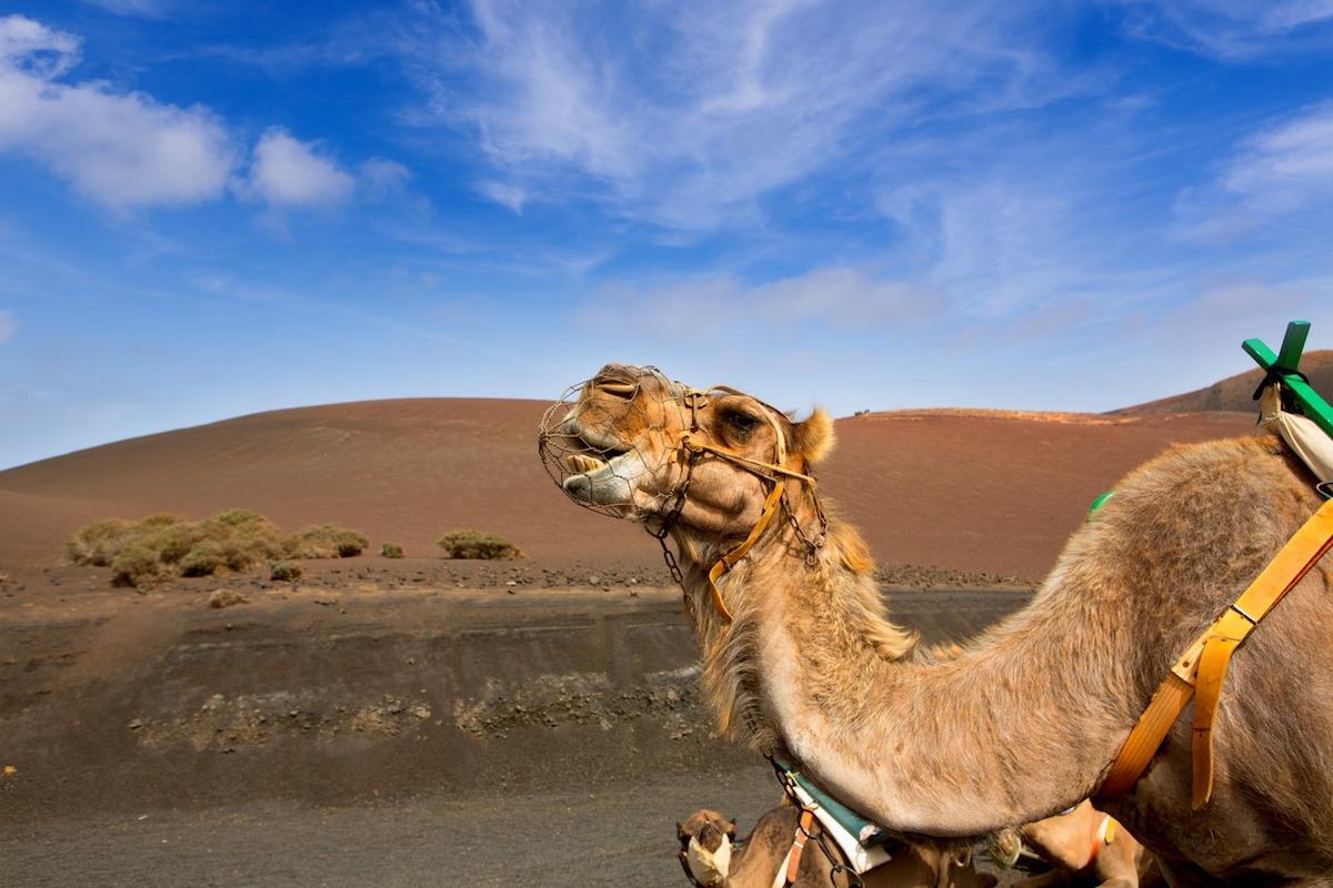 ruta de los camellos en el timanfaya