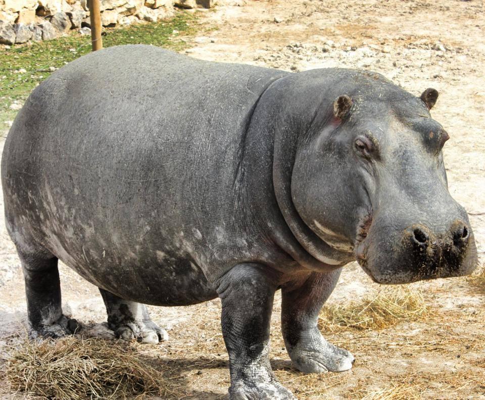 hipopótamos safari aitana