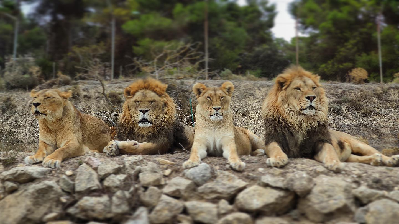 leones safari aitana